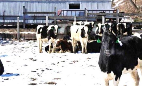 ΗΠΑ: Χιλιάδες αγελάδες σκοτώθηκαν από την κακοκαιρία