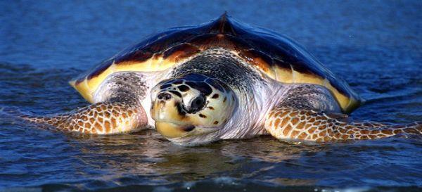 Χελώνα καρέτα-καρέτα βρέθηκε άγρια κακοποιημένη στο Ναύπλιο