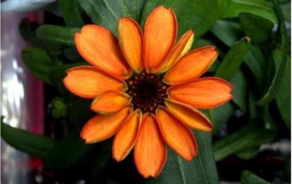 Ανθισε το πρώτο λουλούδι που καλλιεργήθηκε στο διάστημα
