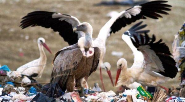 Πελαργοί δεν μεταναστεύουν γιατί τρώνε σε χωματερές