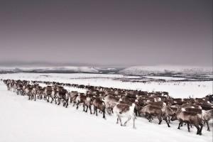 Η εντυπωσιακή μετανάστευση των ταράνδων στο φακό!