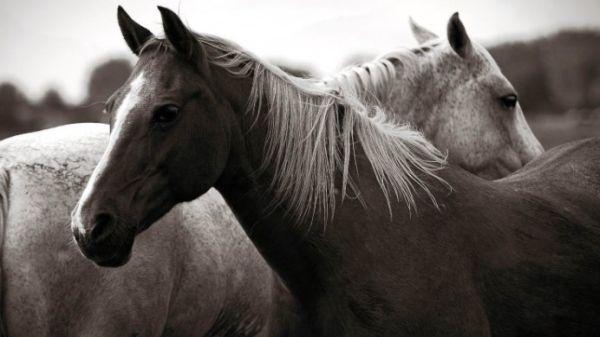 Τα άλογα αντιλαμβάνονται τα συναισθήματα των ανθρώπων