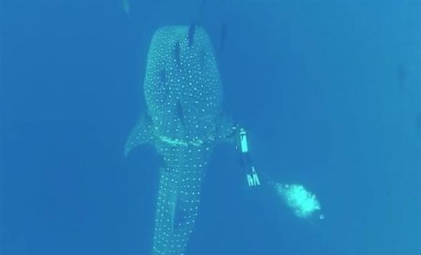 Eκπληκτικό βίντεο με φαλαινοκαρχαρία