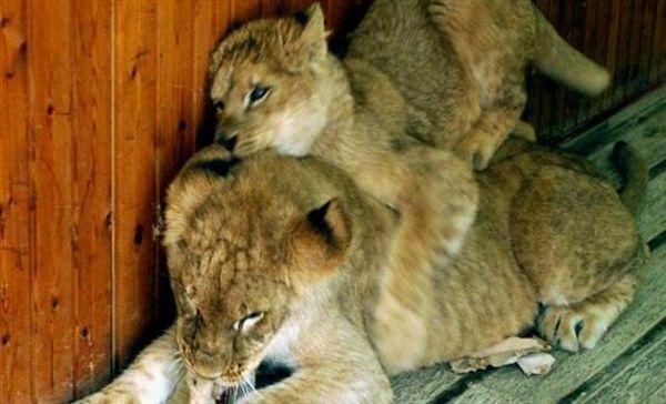 Ασφαλή τέσσερα λιοντάρια που έκαναν... βόλτα στο Ναϊρόμπι