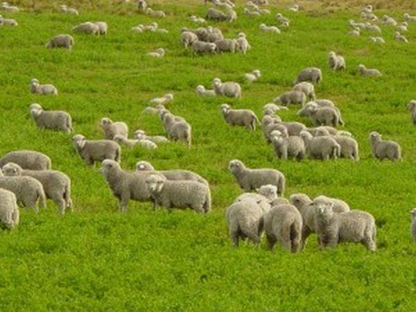 Εντυπωσιακό βίντεο με πρόβατα που... μαζεύονται στο μαντρί!