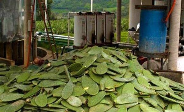 Μεξικό: Πιλοτικό πρόγραμμα βιοκαυσίμου από φραγκόσυκα