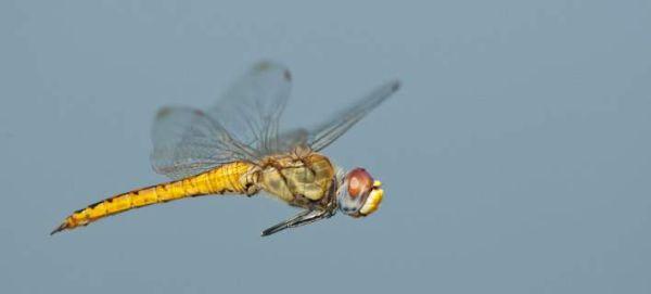 Το έντομο που διανύει τις μεγαλύτερες αποστάσεις στον κόσμο