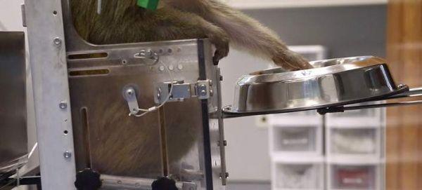 Μαϊμού οδηγεί ρομποτικό αναπηρικό καροτσάκι μόνο με τη σκέψη [εικόνες & βίντεο]