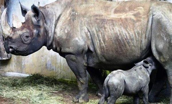 Νέο ρεκόρ λαθροθηρίας ρινόκερων το 2015