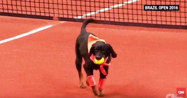 Αδέσποτα σκυλιά εργάζονται σαν ball boys σε αγώνες τέννις