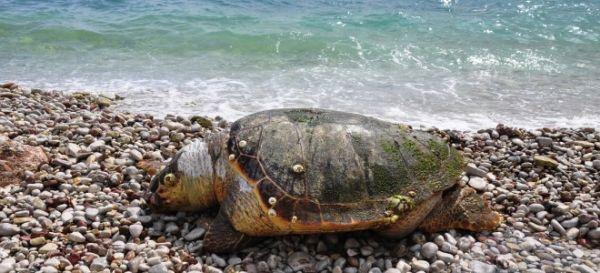 Μια καρέτα- καρέτα στην παραλία του Αγιοκάμπου