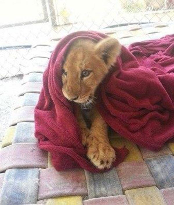 Λιοντάρι δεν μπορεί να κοιμηθεί χωρίς κουβέρτα!