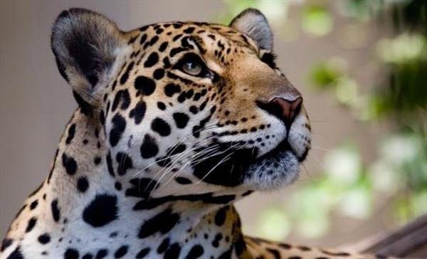Σπάνια λεοπάρδαλη υποβλήθηκε σε ευθανασία