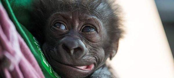 Γοριλάκι ήρθε στον κόσμο με καισαρική (εικόνες)