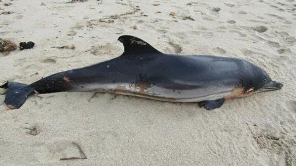 Νεκρό δελφίνι και φώκια σε παραλίες της Μαγνησίας