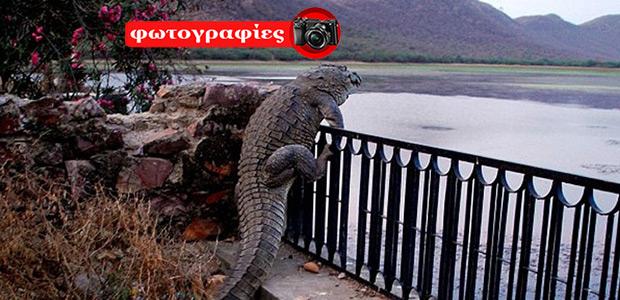 Κροκόδειλος-«ακροβάτης» σκαρφάλωσε φράχτη για να βουτήξει στο νερό