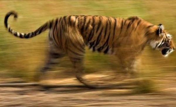 Ελπίδες για διπλασιασμό του πληθυσμού των τίγρεων έως το 2022