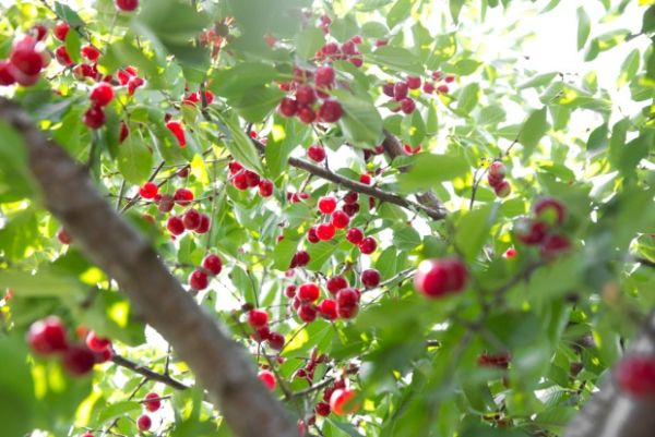 Ζημιές σε κερασιές