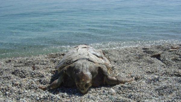 Νεκρή θαλάσσια χελώνα στον Αγιόκαμπο
