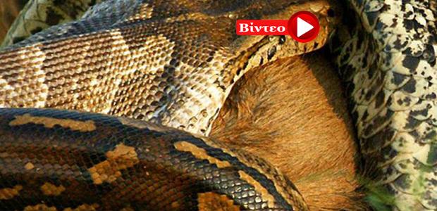 Οι 10 πιο θανατηφόρες μάχες άγριων ζώων που έχουν καταγραφεί σε κάμερα