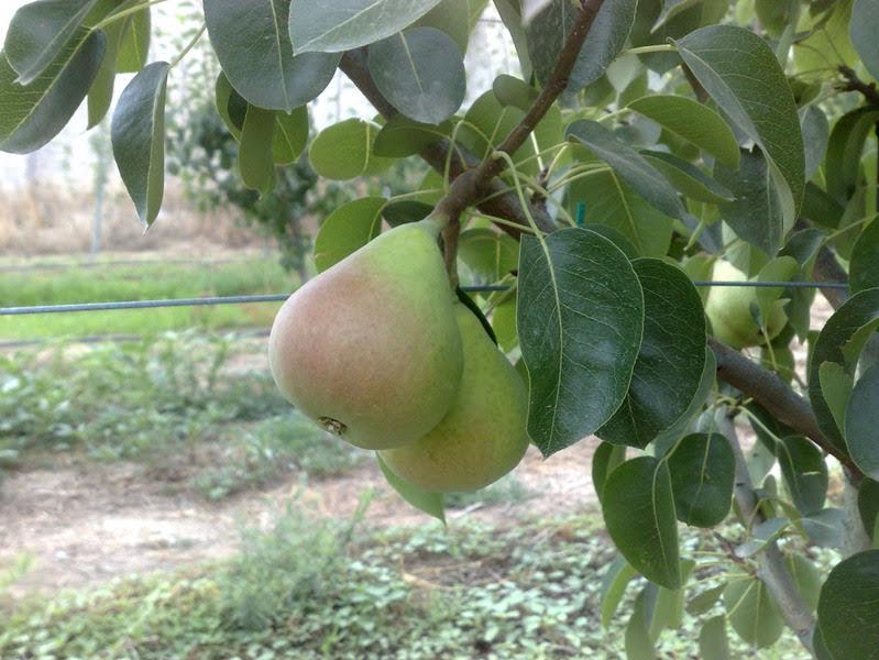 Μειωμένη σημαντικά η παραγωγή σε αχλάδια και κεράσια στο Πήλιο