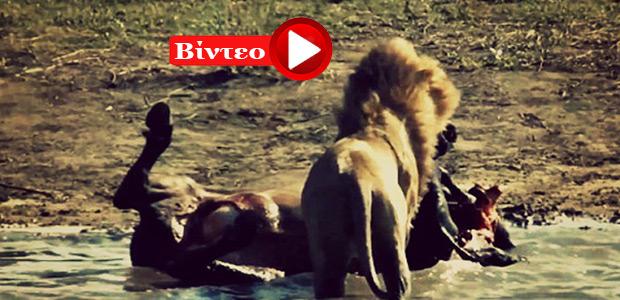 Το σκληρό πρόσωπο της φύσης: Λιοντάρι τρώει έμβρυο από την κοιλιά βουβαλιού