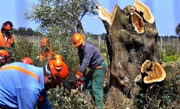 Η Ιταλία θα λάβει μέτρα για καταστροφική επιδημία στους ελαιώνες