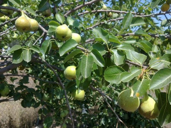 Μειωμένη παραγωγή οπωροφόρων στο δήμο Ρ. Φεραίου
