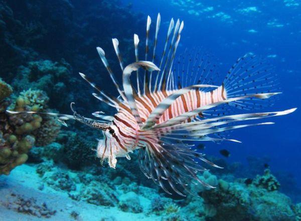 Λεοντόψαρα εμφανίστηκαν στη θαλάσσια περιοχή της Ρόδου