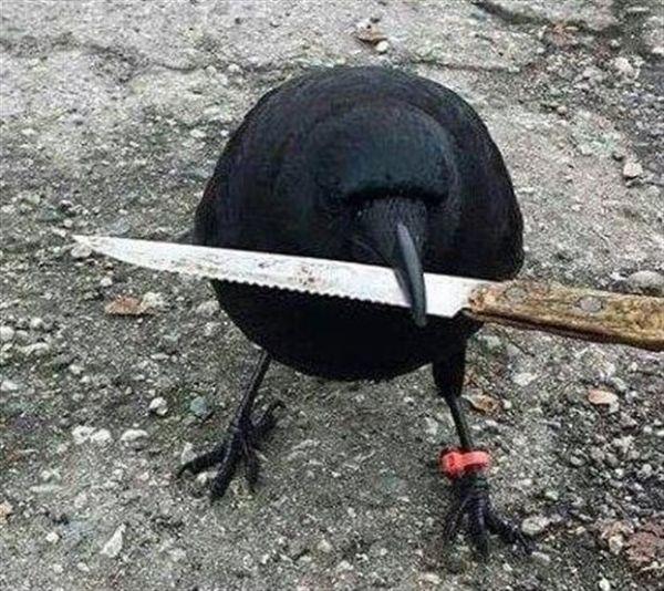 Καναδάς: Ενα κοράκι έκλεψε μαχαίρι από τόπο εγκλήματος
