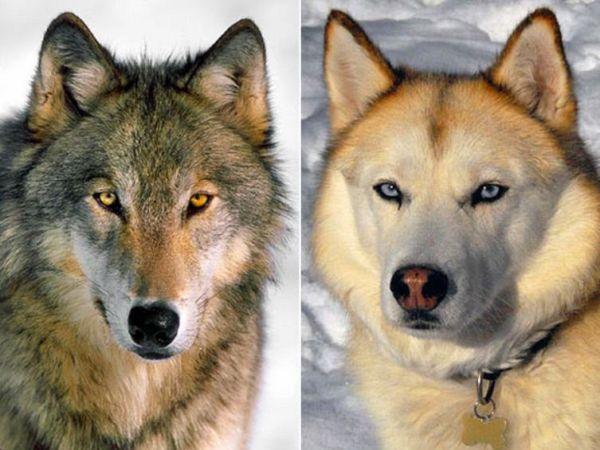 Πότε και πού «μεταμορφώθηκαν» οι λύκοι σε σκύλους