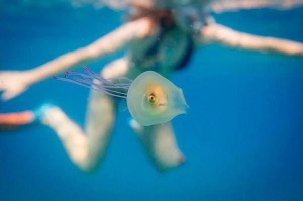 Μοναδική φωτογραφία: Ψάρι παγιδεύεται μέσα σε μέδουσα