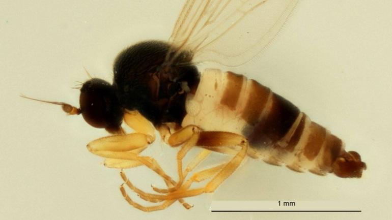 Άγνωστο είδος μύγας ανακαλύφθηκε στις... Βρυξέλλες