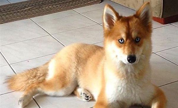 Πανέμορφος σκύλος μοιάζει με αλεπού