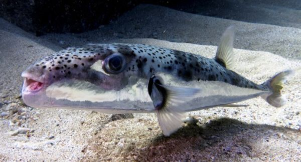 Το τοξικό ψάρι λαγοκέφαλος στα ελληνικά νερά