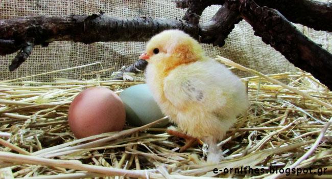 ΗΠΑ: Οι πτηνοτρόφοι θα σταματήσουν να σκοτώνουν τους αρσενικούς νεοσσούς