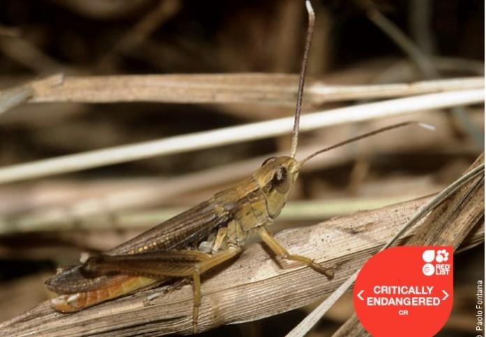 Άραβες σώζουν τη μοναδική ακρίδα της Ηπείρου από την εξαφάνιση