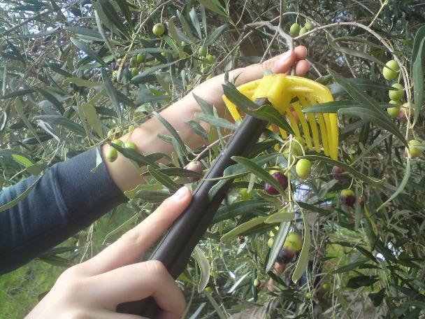 Ακαρπία ελαιόδεντρων στο Δήμο Αλμυρού
