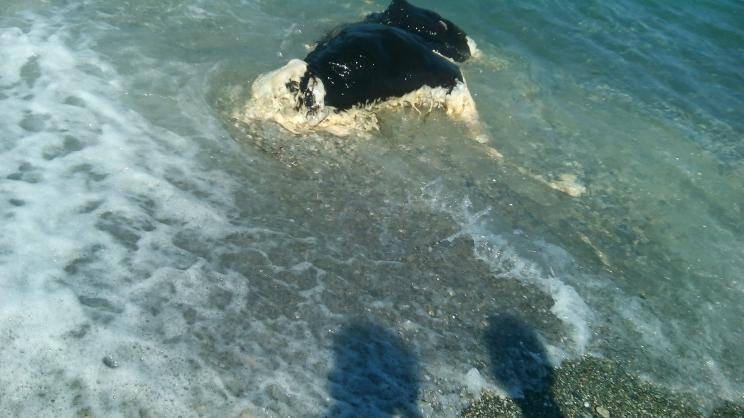 Η θάλασσα ξέβρασε μοσχάρι!
