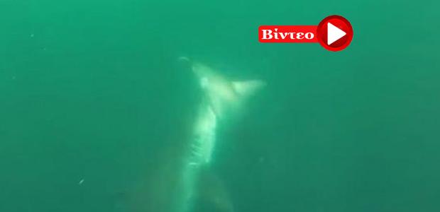 Σπάνια μονομαχία ανάμεσα σε δύο καρχαρίες