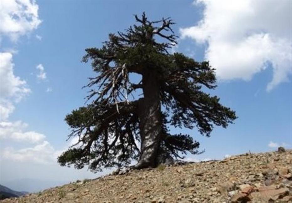 Το γηραιότερο δέντρο στην Ευρώπη λέγεται Αδωνις και είναι... ελληνικό!