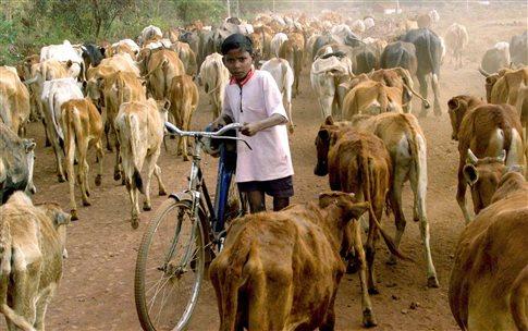 Ινδία: Βάφουν τα κέρατα των αγελάδων φωσφοριζέ για να μειώσουν τα τροχαία