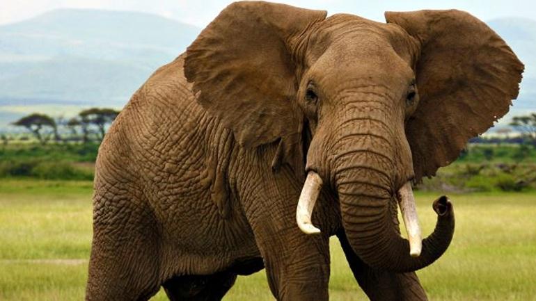 Οι αφρικανικοί ελέφαντες βαίνουν προς εξαφάνιση
