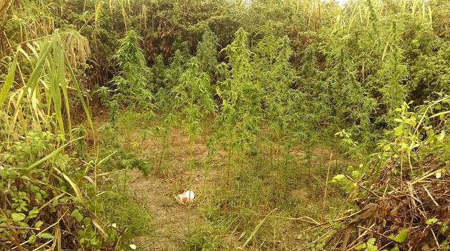 Φυτεία κάνναβης εντοπίστηκε στα Μεσάγγαλα Λάρισας