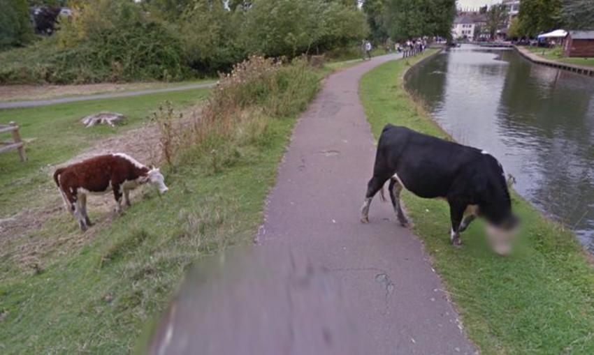 Η Google έβαλε μωσαϊκό στο πρόσωπο μιας... αγελάδας