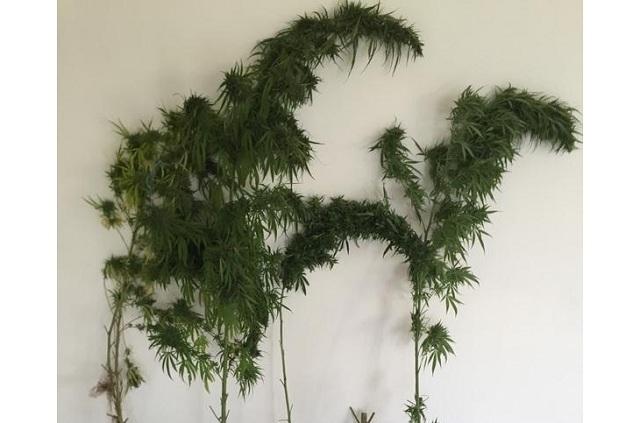 56χρονος καλλιεργούσε δενδρύλλια κάνναβης στο σπίτι του