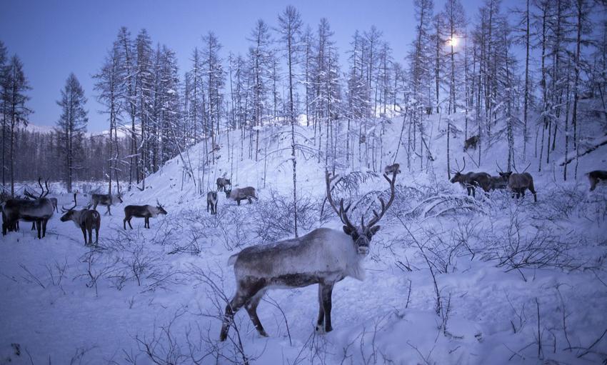 Εφιάλτης πριν τα Χριστούγεννα: Η Ρωσία ετοιμάζεται να θανατώσει 250.000 ταράνδους