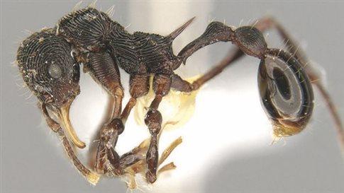 Νέο είδος μυρμηγκιού ανακαλύφθηκε στον εμετό βατράχου
