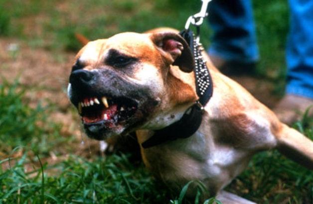 Φονική επίθεση πιτ μπουλ σε μικρό σκυλάκι