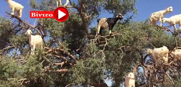 «Ιπτάμενες» κατσίκες βόσκουν... πάνω στο δέντρο